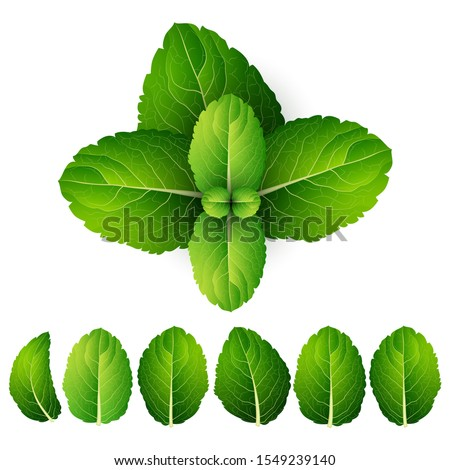 vector fresh mint leaves on a
