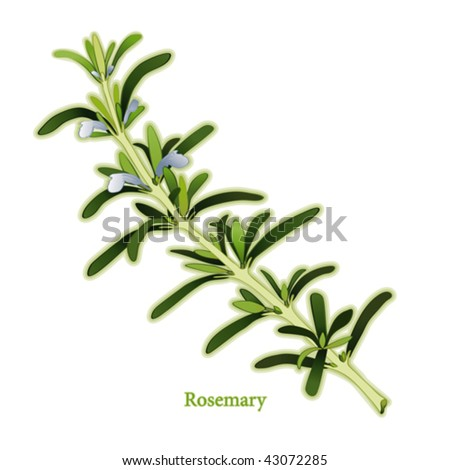 vector - Fresh Rosemary.  Fragrant Mediterranean herb, blue flowers, dark green, narrow leaves for cooking, medicine, Herbes de Provence. See other herbs & spices in this series. EPS8 compatible.