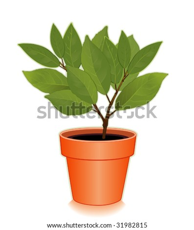 Vector fresh sweet bay laurel herb tree in a flowerpot aromatic leaves used to season meats - Aromatic herbs pots multiple benefits ...