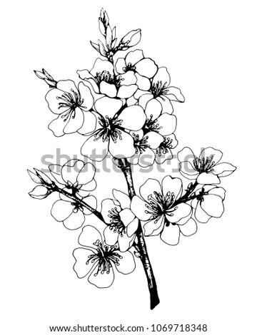 Vector, graphic of Japan cherry (sakura) with flowers. Black and white outline illustration. #1069718348