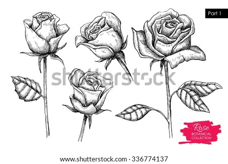 Vector hand drawn botanical rose set. Engraved collection. Great for greeting cards, backgrounds, wedding invitations
