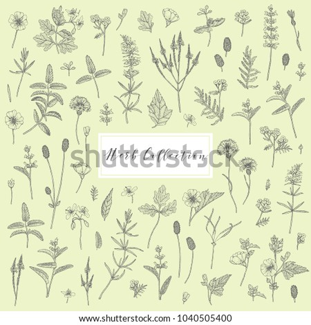 Vector hand drawn collection of medicinal, cosmetics herbs and plants. Sage Cornflower Marshmallow Burnet Celandine Blue Vervain Tansy and Hyssop. #1040505400
