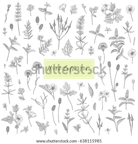 Vector hand drawn collection of medicinal, cosmetics herbs and plants. Sage Cornflower Marshmallow Burnet Celandine Blue Vervain Tansy and Hyssop. #638115985