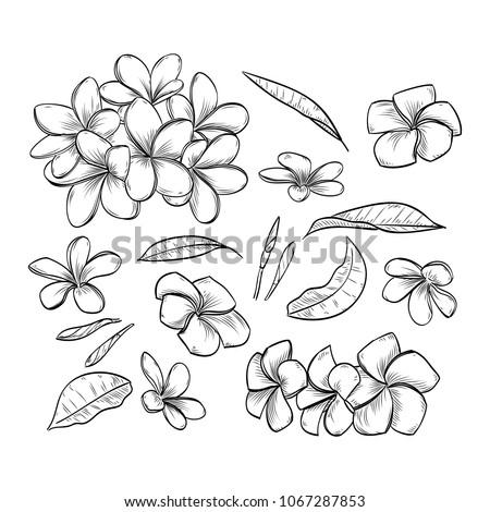 Vector hand drawn elegant plumeria