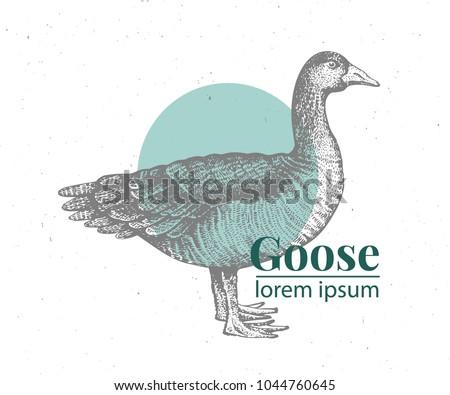 Vector hand drawn goose illustration. Retro engraving style. Sketch farm animal drawing. Duck logo template.