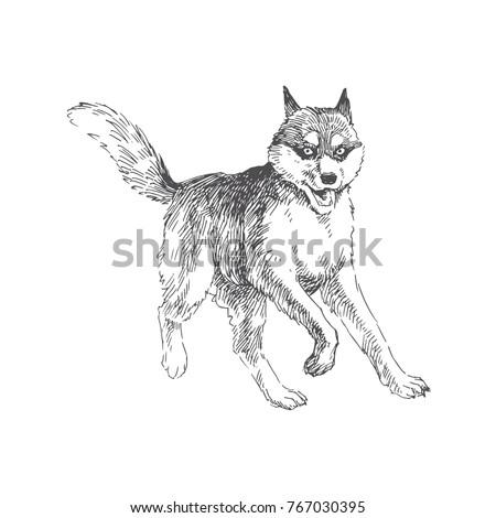 Vector Hand Drawn Illustration With Siberian Husky Running Dog In