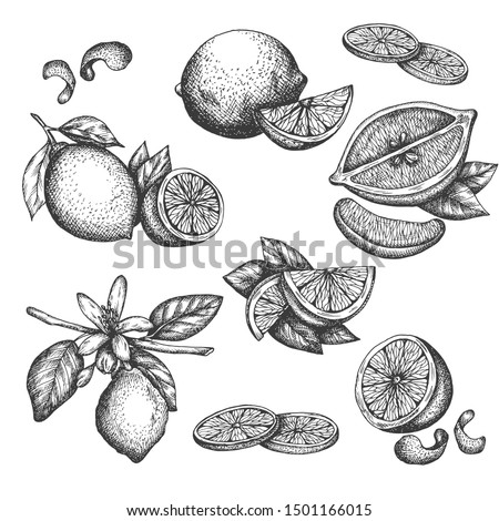 Vector hand drawn lime or lemon set. Blossom plant with leaves Sliced lemons sketch Lemon isotated on white background Illustration for lemonade Vintage retro style drawing for tea, juice, cosmetics