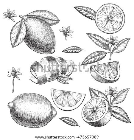 vector hand drawn lime or lemon