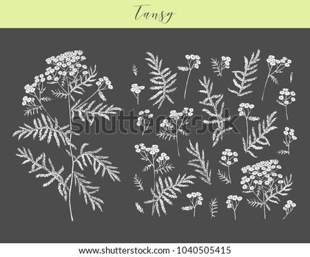 Vector hand drawn medicinal, cosmetics herb Tanacetum vulgare. Tansy plant. #1040505415