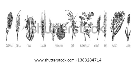 Vector hand drawn set of cereals ears. Wheat, rye, oat, barley, proso millet, farro, quinoa, corn maize, buckwheat, oryza, rice, sorghum. Isolated on white background.