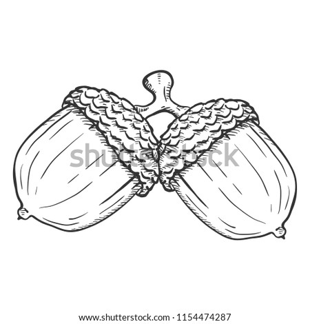Vector Hand Drawn Sketch Illustration - Pair of Acorns on the Same Branch