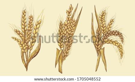Vector hand-drawn wheat ears Drawing of a bunch of grain ears. Cereal illustration in vintage style. wheat grain,granule, kernel,corn,rye,barley,oats,pic,buckwheat,grass,bran