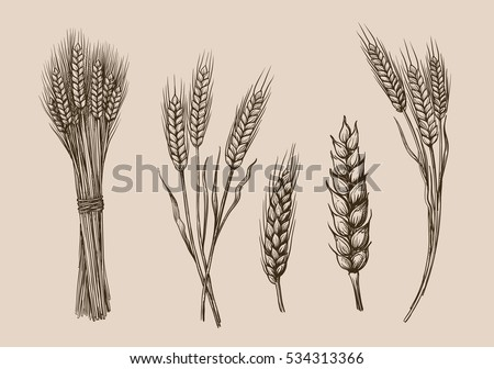 vector hand drawn wheat ears sketch doodle