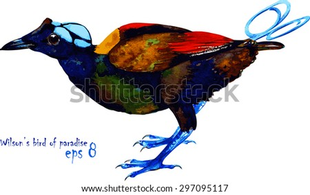 Vector handmade watercolor illustration of Wilson\'s bird-of-paradise. Beautiful colors of exotic Oceanian bird. Isolated on white background. Original art.
