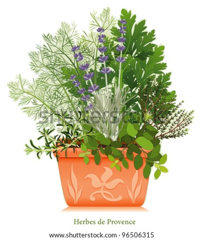 vector - Herbes de Provence Garden. Cooking herb blend of SW France, left-right: Rosemary, Sweet Fennel, Italian Flat Leaf Parsley, Thyme, Oregano, Lavender, clay flowerpot planter, floral design.