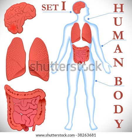 Female+human+body+organs+diagram