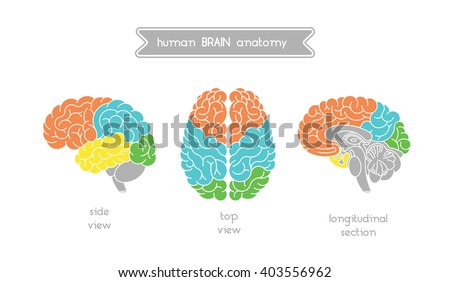 Vector human brain views. Brain top view, side view and section. Illustration of human brain for medical design, educatin or logo design. Easy recolor. Vector human brain. Logo brain.