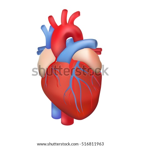 Anatomical heart isolated. Muscular organ in humans. Heart ...