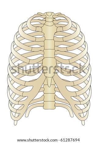 Vector human Skeleton bones - stock vector