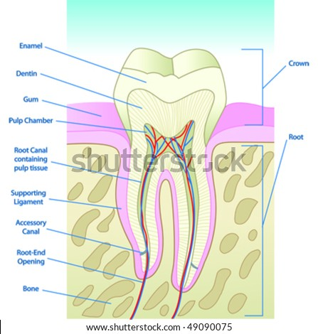 teeth diagram with labels. Illustrated Tooth Diagram