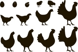 Vector illustration. A set of silhouettes of chickens of all ages