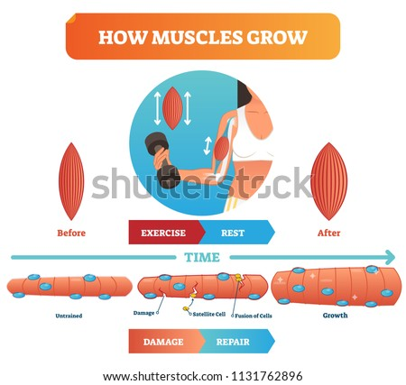 Vector illustration about how muscles grow. Medical and anatomical educational diagram with before exercise and after. Scheme with damage, satellite cell, fusion of cells and growth. Fitness basics.