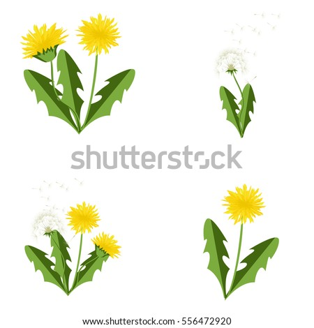 vector illustration dandelions