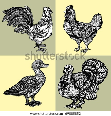 Vector illustration graphically drawn poultry - turkey, duck, chicken and a rooster. Imitation of woodcuts