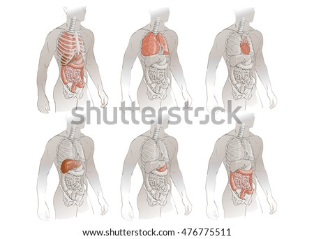 Human anatomy of liver - Download Free Vectors, Clipart