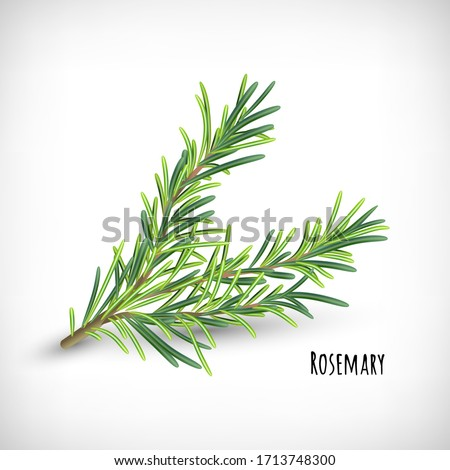 Vector illustration. Image of rosemary plant.  Isolated rosemary twig on vignette background. Lettering Rosemary. Herb and spice vector element for web design.