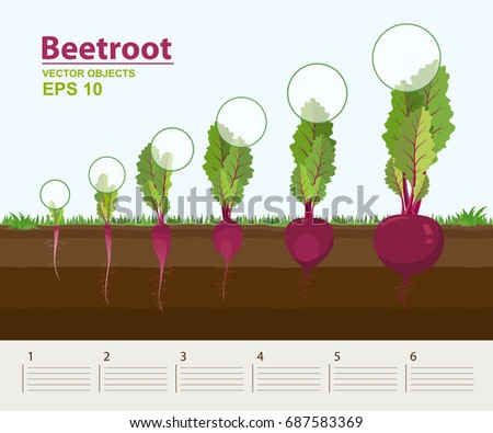 Vector illustration in flat style. Phases and stage of growth, development and productivity of beetroot in the garden. How grows beets step by step. Distance between plants. Infographic concept