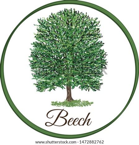 vector illustration of an beech