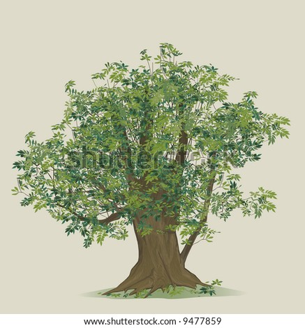 vector illustration of beech tree