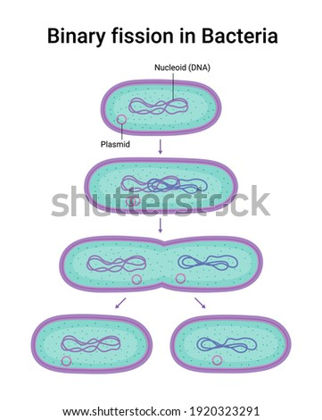 Vector illustration of Binary fission in Bacteria. Reproduction Stock photo ©