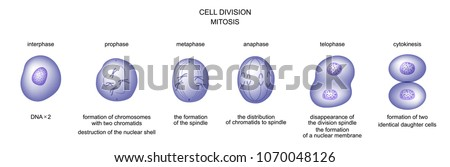vector illustration of cell division. mitosis. biology