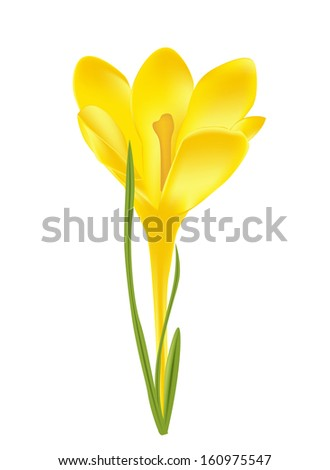 vector illustration of crocus