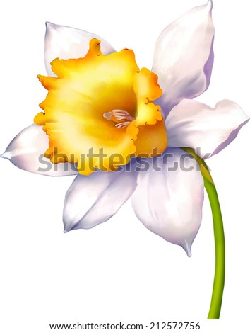 vector illustration of daffodil