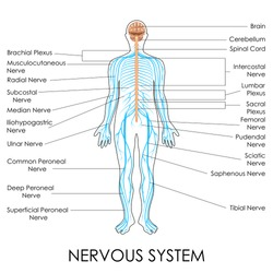 vector illustration of diagram of nervous system