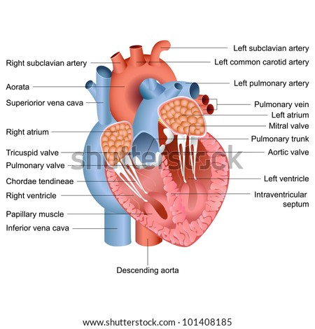 vector illustration of drawing of heart anatomy