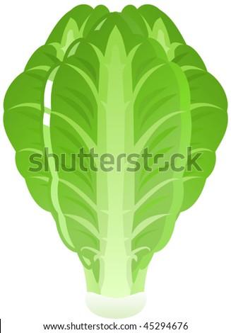 Vector illustration of green, Iceberg Lettuce