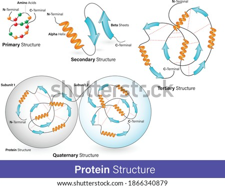 vector illustration of Hierarchy of protein structure. alpha helix and beta sheets, Protein domain and motifs. levels of protein folding. Protein structure graphic poster infographic.