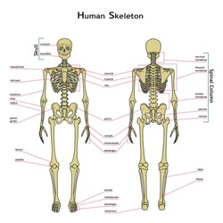 Vector illustration of human skeleton. Didactic board of anatomy of human bony system. A diagram of the main parts of the skeletal system.