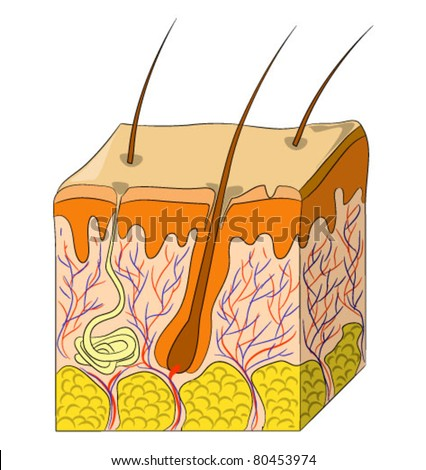 Vector illustration of human skin structure