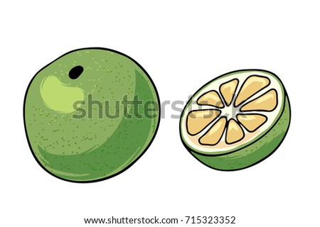 Vector illustration of juicy isolated outline colorful fruit - white grapefruit.