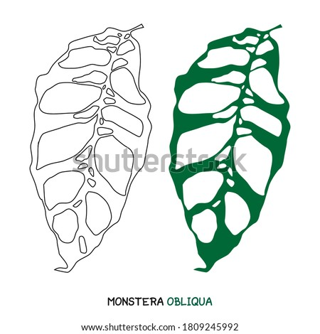 Vector illustration of monstera obliqua isolaed on white background eps 10, easy to edit for web element. Exotic Monstera Obliqua Plant leaf drawings.  Foto stock ©