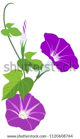 Vector illustration of Morning glory flowers with leaves isolated on white background_Japanese Asagao flowers