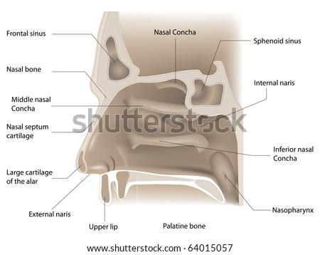vector illustration of nose anatomy on white background