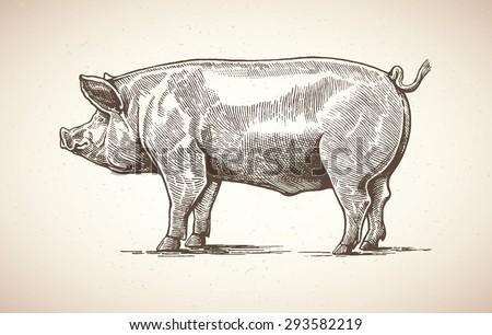 vector illustration of pig in