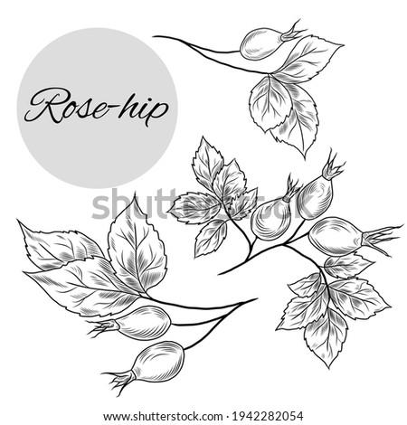 Vector illustration of rose-hip set, hand-drawn medical plants, herbs Stock photo ©