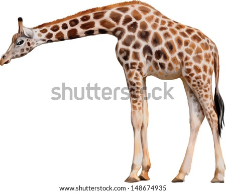 Vector illustration of Somali Giraffe Reticulated Giraffe Giraffa camelopardalis reticulata standing against white background